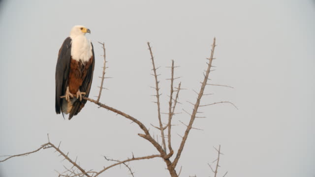 wildlife and scenics, botswana - african fish eagle stock videos & royalty-free footage