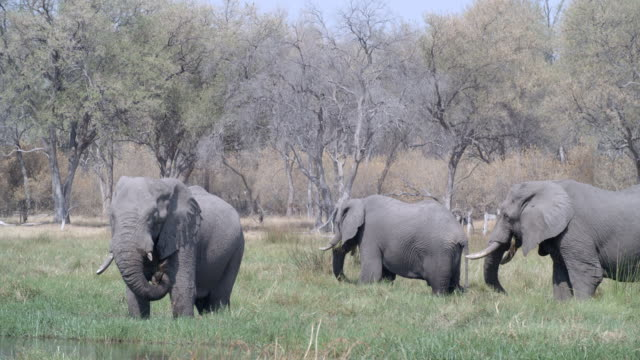 wildlife and scenics, botswana - small group of animals stock videos & royalty-free footage