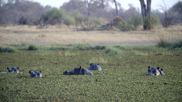 wildlife and scenics, botswana - mittelgroße tiergruppe stock-videos und b-roll-filmmaterial