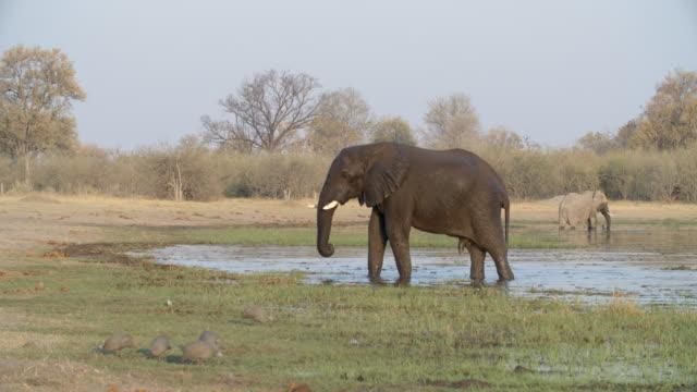 wildlife and scenics, botswana - medium group of animals stock videos & royalty-free footage