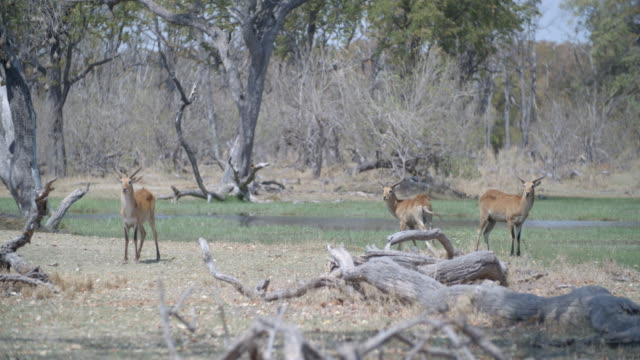 wildlife and scenics, botswana - kleine gruppe von tieren stock-videos und b-roll-filmmaterial