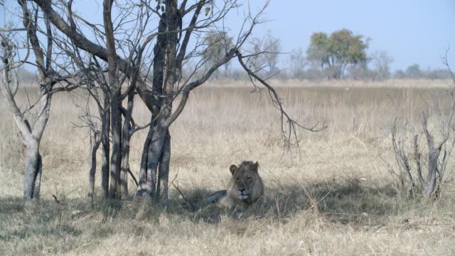 wildlife and scenics, botswana - bare tree stock videos & royalty-free footage