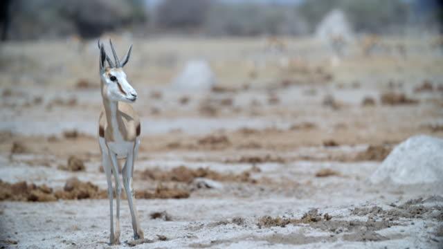 wildlife and scenics, botswana - antilope stock-videos und b-roll-filmmaterial