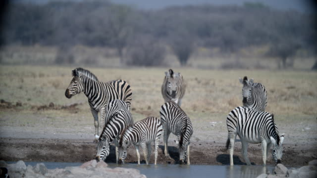 wildlife and scenics, botswana - tierfarbe stock-videos und b-roll-filmmaterial