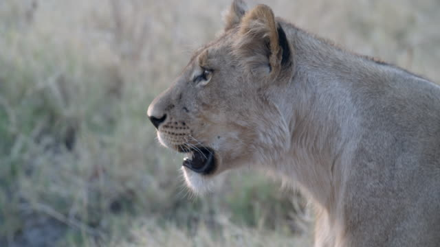 wildlife and scenics, botswana - beige stock videos & royalty-free footage
