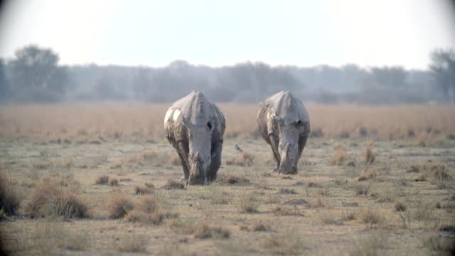 wildlife and scenics, botswana - rhinoceros stock videos & royalty-free footage