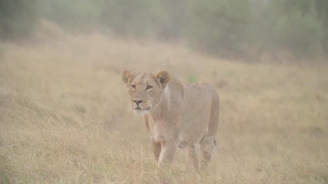 vídeos y material grabado en eventos de stock de wildlife and scenics, botswana - animales acechando