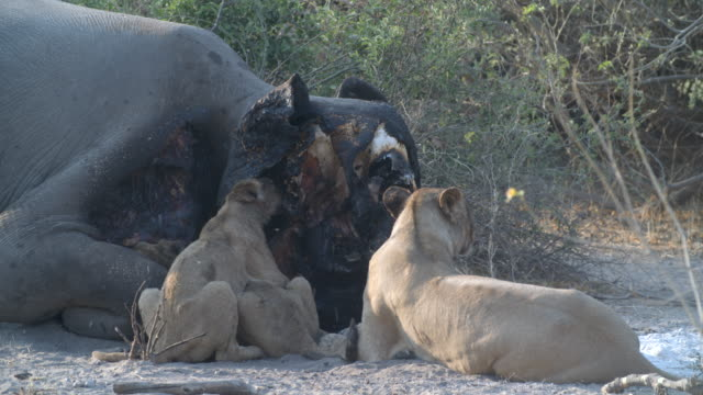 wildlife and scenics, botswana - dead animal stock videos & royalty-free footage