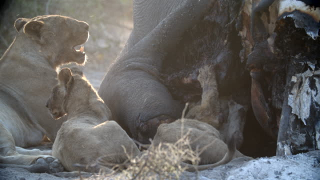 vídeos de stock e filmes b-roll de wildlife and scenics, botswana - grupo pequeno de animais