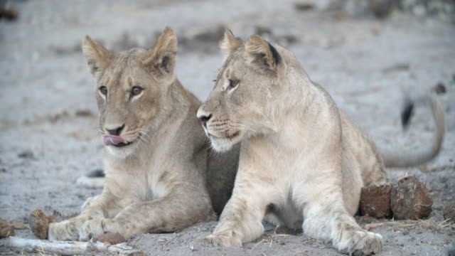 vídeos y material grabado en eventos de stock de wildlife and scenics, botswana - two animals