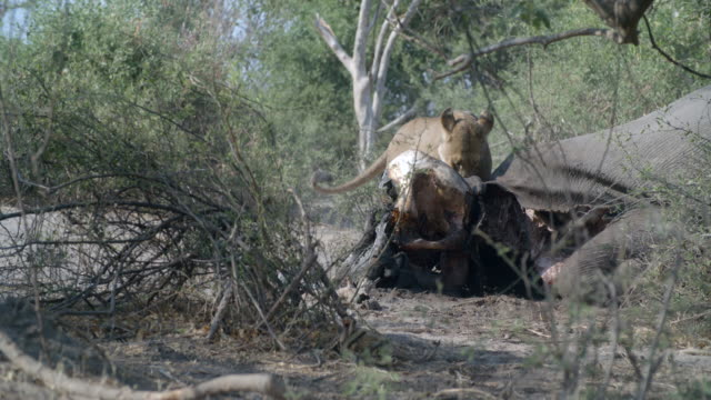 wildlife and scenics, botswana - wildlife reserve stock videos & royalty-free footage