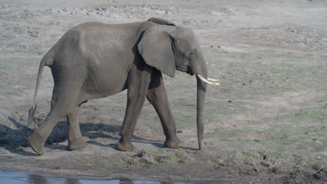 wildlife and scenics, botswana - striding stock videos & royalty-free footage