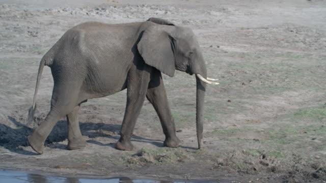 vídeos y material grabado en eventos de stock de wildlife and scenics, botswana - paso largo