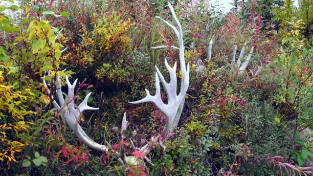 wildlife and scenics of alaska and denali nat'l park - antler stock videos & royalty-free footage