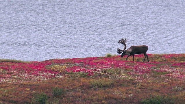 vidéos et rushes de wildlife and scenics of alaska and denali nat'l park - caribou