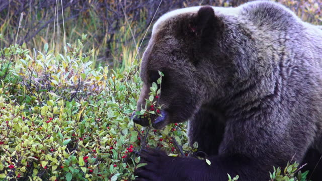 vidéos et rushes de wildlife and scenics of alaska and denali nat'l park - ours brun