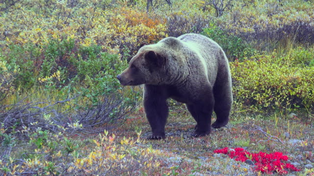wildlife and scenics of alaska and denali nat'l park - foraging stock videos & royalty-free footage