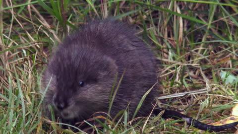 vídeos y material grabado en eventos de stock de wildlife and scenics of alaska and denali nat'l park - hierba familia de la hierba
