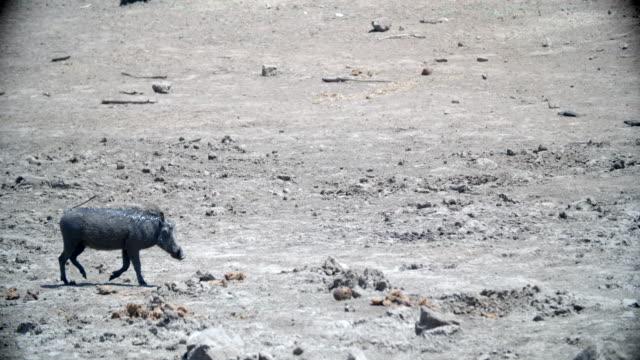 vídeos de stock, filmes e b-roll de wildlife and scenics, pilanesberg national park, south africa - javali africano