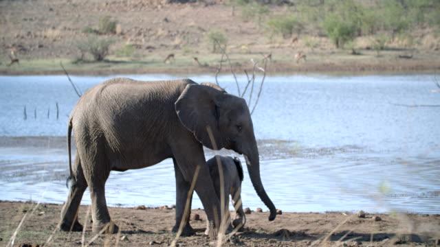 wildlife and scenics, pilanesberg national park, south africa - ゾウ点の映像素材/bロール