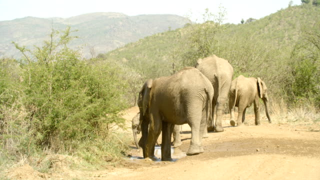 wildlife and scenics/ pilanesberg national park/ south africa - animal ear stock videos & royalty-free footage