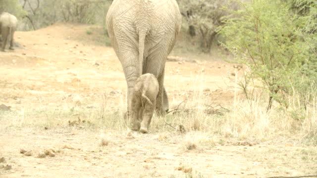 vidéos et rushes de wildlife and scenics/ pilanesberg national park/ south africa - éléphanteau