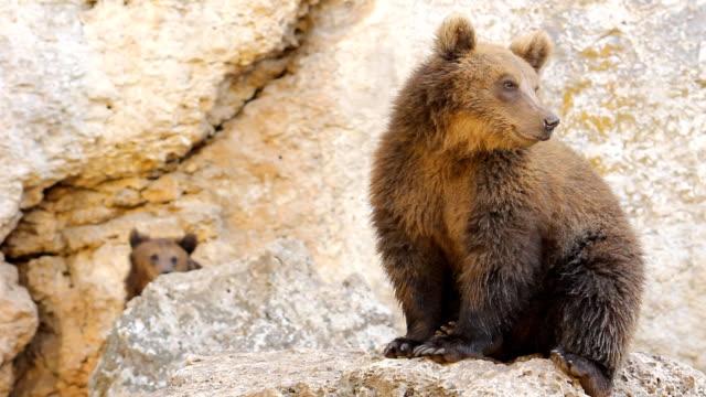 野生動物-ヒグマモンタージュの hd ビデオ - くま点の映像素材/bロール