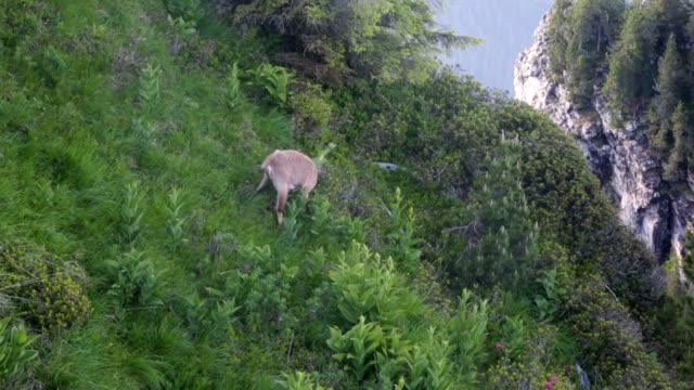vídeos de stock, filmes e b-roll de camurça de vida selvagem no alpes suíços - boa postura
