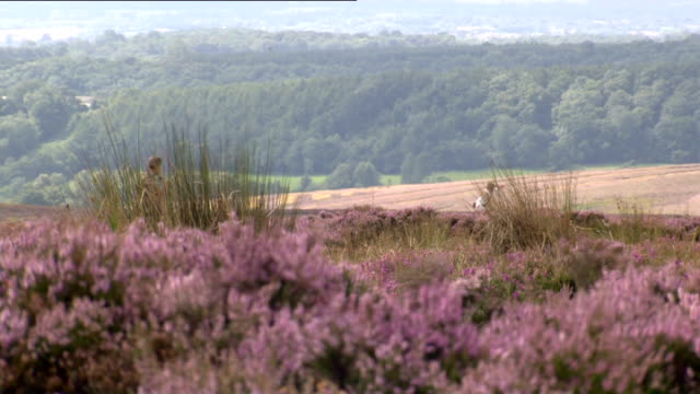 wildlife conservationists launch campaign to ban grouse shooting north yorkshire north york moors man and dog along on moor general view of heather... - heather stock videos & royalty-free footage