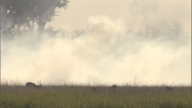 wildlife grazes on grass near a wildfire in the swamp of the okavango delta in botswana. - mammal stock videos & royalty-free footage