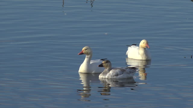 wildlife in central valley refuges of california - gosling stock videos & royalty-free footage