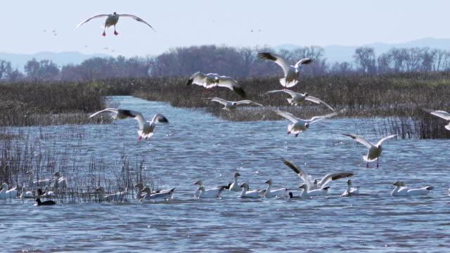 vidéos et rushes de wildlife in central valley refuges of california - atterrir