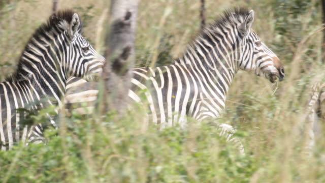 wildlife in zimbabwe - flüchten stock-videos und b-roll-filmmaterial