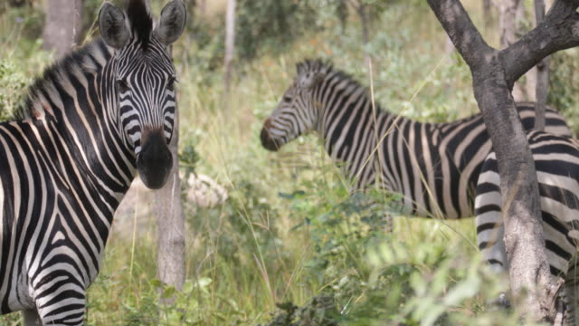 wildlife in zimbabwe - zimbabwe stock videos & royalty-free footage