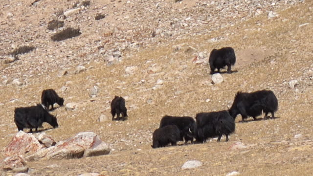 Wildlife Yak in field, Leh Ladakh, Jammu and Kashmir, India