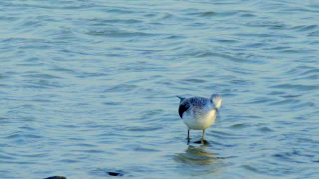 willet in water - foraging stock videos & royalty-free footage