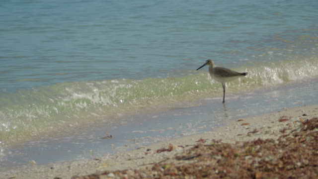 Willet (Tringa semipalmata) on Sea Shore, Yucatan, Mexico