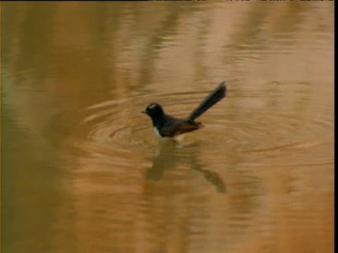 "vidéos et rushes de willie wagtail stands in waterhole, then flies away, northern territory, australia - ""bbc natural history"""