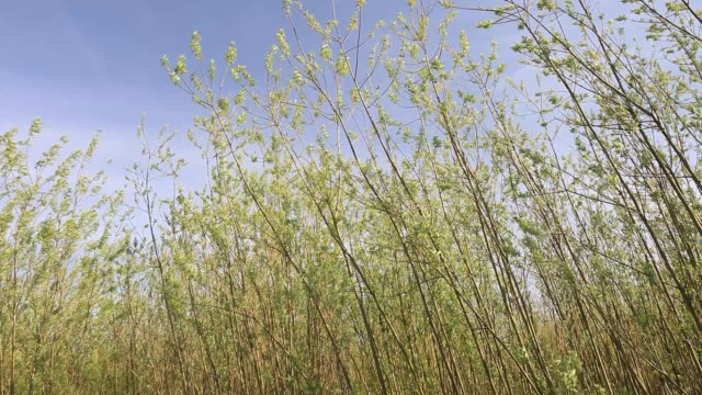 willow being grown for biofuel next to the stephens croft biofuel power station in lockerbie scotland uk - galloway scotland stock videos & royalty-free footage
