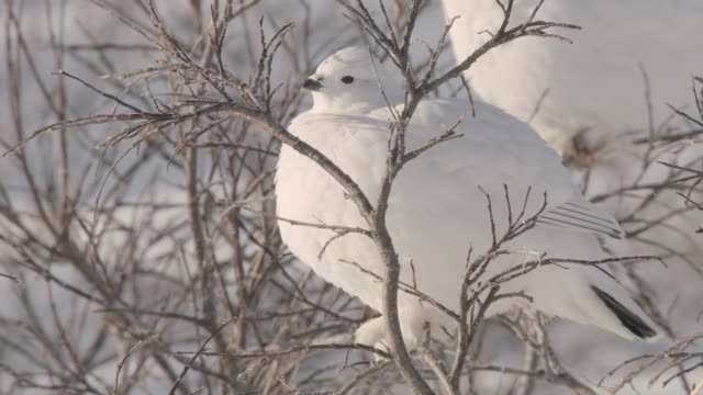 willow ptarmigan on tundra, canada - arctic stock videos & royalty-free footage