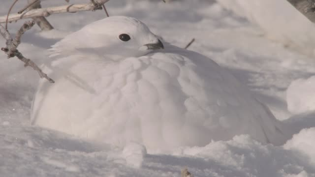 willow ptarmigan sleeps on tundra, canada - camouflage stock videos & royalty-free footage