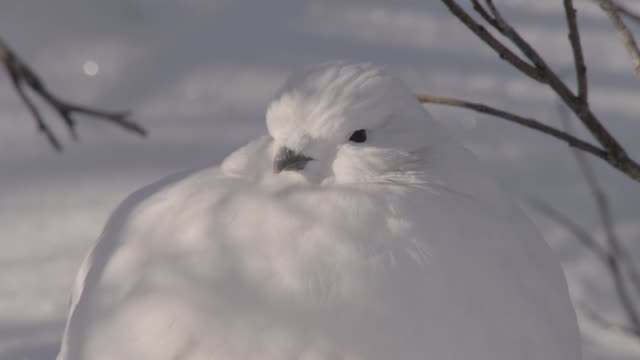 willow ptarmigan sleeps on tundra, canada - manitoba stock videos & royalty-free footage
