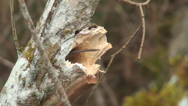 vidéos et rushes de mésange boréale construire un nid douillet - nid