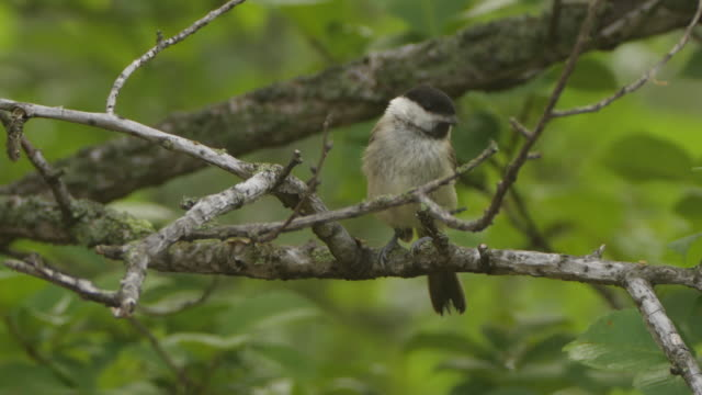willow tit (poecile montanus) - khingan nature reserve - insect stock videos & royalty-free footage