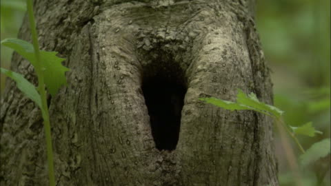 willow tit leaves nesthole in tree, russia - emergence stock videos & royalty-free footage