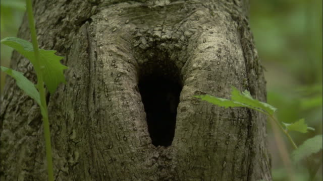 willow tit leaves nesthole in tree, russia - 出現点の映像素材/bロール