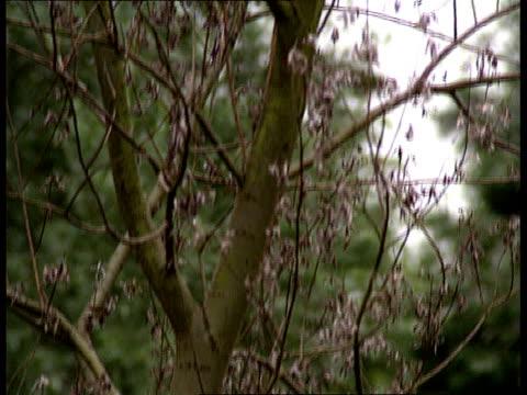 Willow tree disease CMS Diseased tree TILT UP LA MS Healthy tree top TILT DOWN river