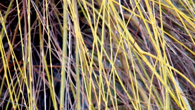 willow tree - trauerweide stock-videos und b-roll-filmmaterial