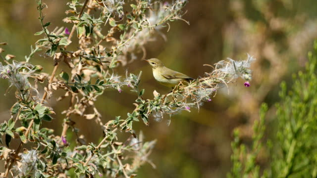 willow warbler-  phylloscopus trochilus in natural habitat - warbler stock videos & royalty-free footage