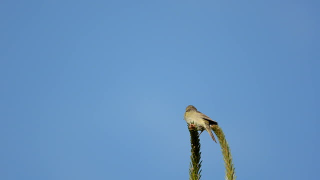 willow warbler (phylloscopus trochilus) - warbler stock videos & royalty-free footage